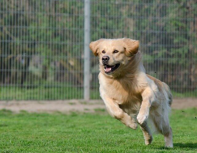 dog running in a dog park