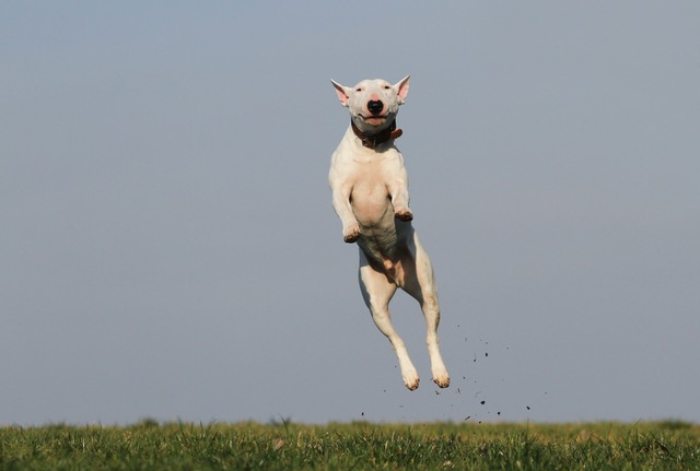 a white dog jumping in the air