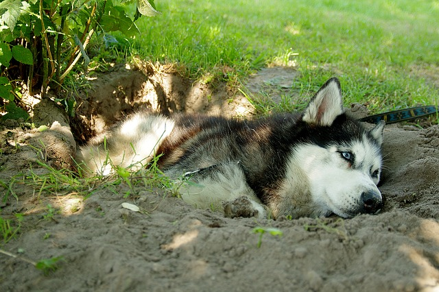 A husky dog lying in a hole it dug.