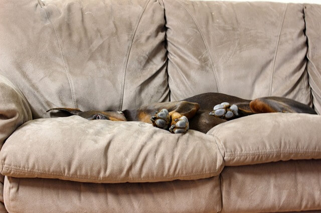 A doberman dog laying on a sofa.