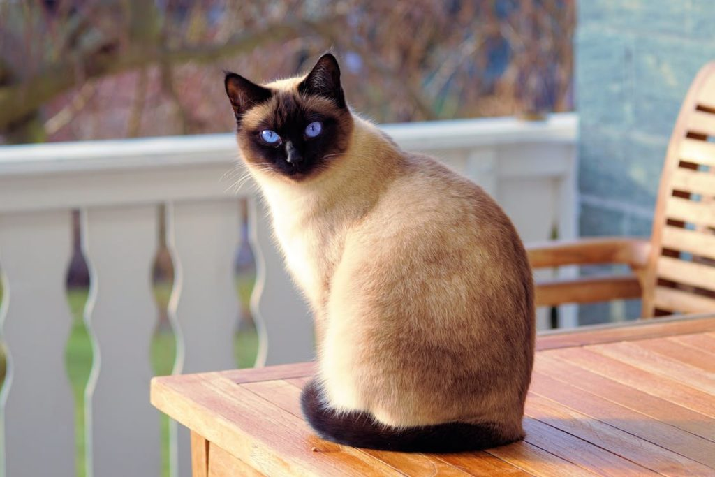 A Siamese cat sitting on a table outdoors.