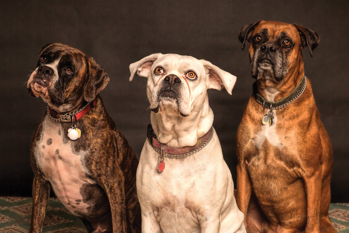 three dogs sitting