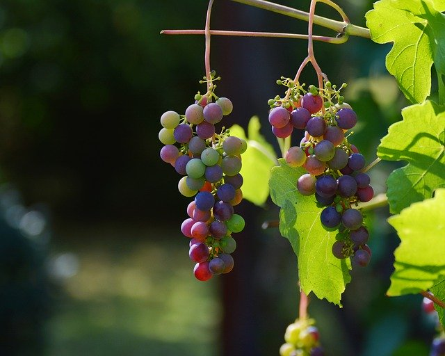 grapes hanging from a grape vine
