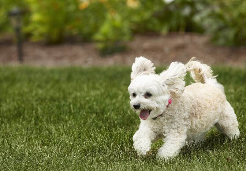 Little Dog Running Freely
